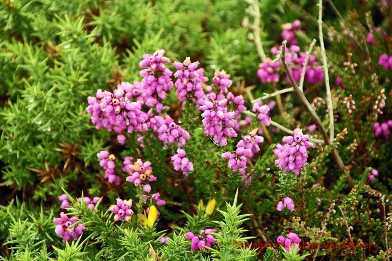 Wunderschöne Blumenpracht am Cap Fréhel ...