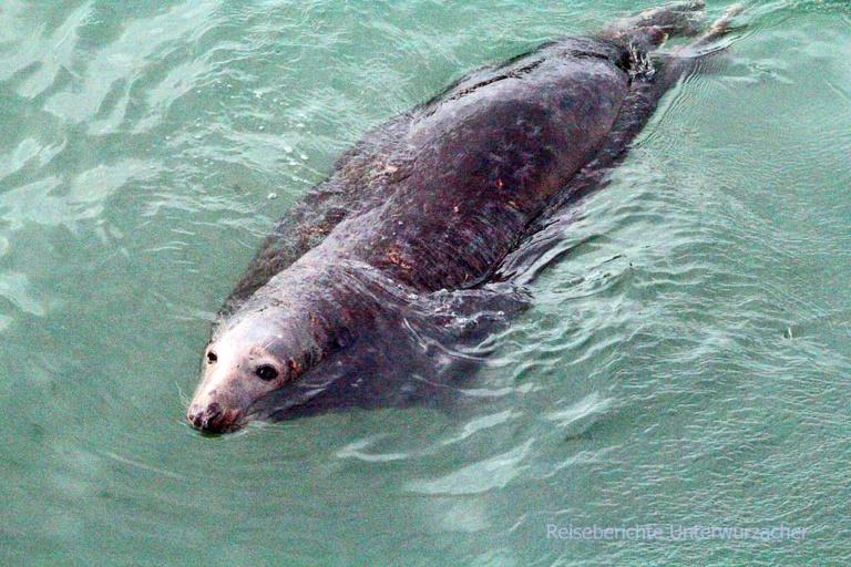 ... ich kann mich kaum sattsehen an den Seals im Fischereihafen Port Oriel ...