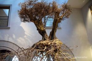 Olivenbaum indoor ...