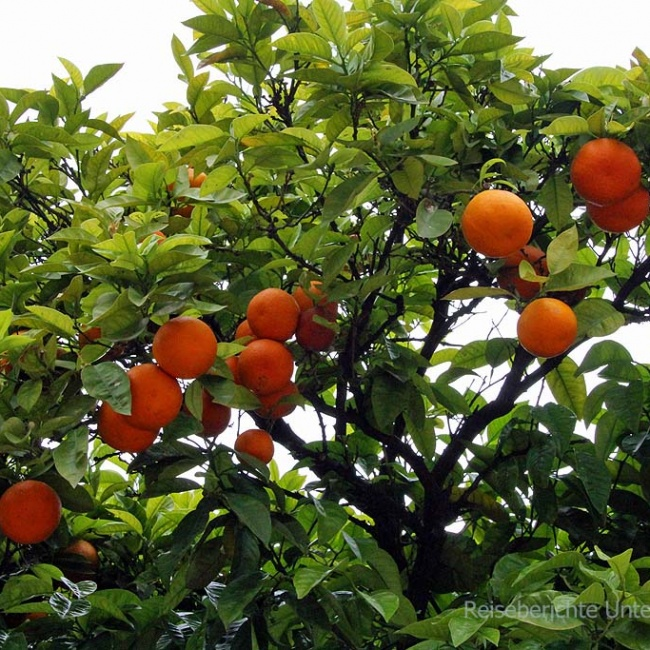 An allen Orten und Ecken: Zitronen- und Orangenbäume
