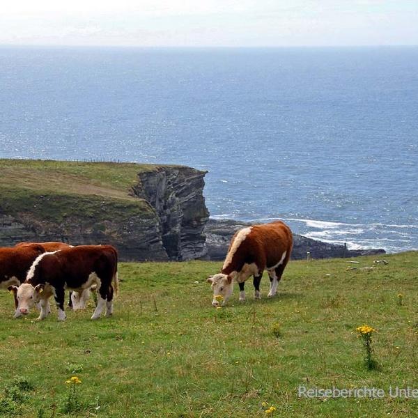 ... auch die Kühe sind das raue Klima gewöhnt ...