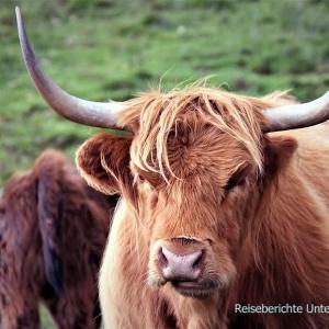 Highland Cattle - Schottisches Hochlandrind